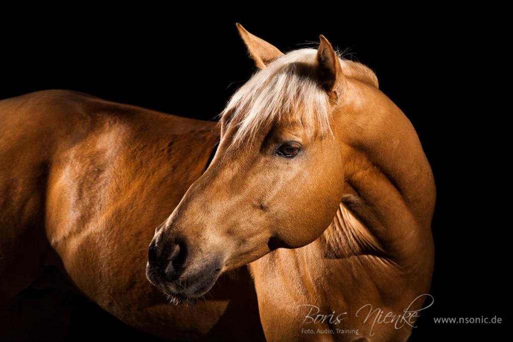 Pferdeportrait mit Blitzlicht vom Hengst Topchex Eliot
